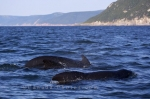In the waters of the Gulf of St. Lawrence in Cape Breton, Nova Scotia, we ventured out on a whale watching excursion to find the Long-Finned Pilot Whales.