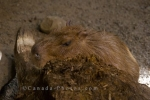 Photo: Capybara Animal Picture