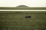 Photo: Caribou Grazing Alaska