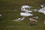 Photo: Caribou Stag Marshlands Southern Labrador