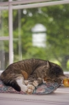 In the light of day, a cat enjoys sleeping on his pillow in front of the window at a memorial church at the Grand Pre National Historic Site in Nova Scotia making a cute picture.