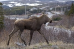 A moose roaming around one's property in Lunaire-Griquet in Newfoundland, Canada is a common sight to see.