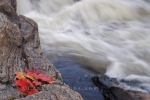 Autumn leaves decorate a boulder along the riverbank of the Sand River in Ontario, Canada as the rapids created from the waterfall rush by.