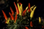 Photo: Chilly Chili Picture Vegetable Garden Montreal Botanical Garden