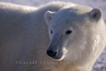 Photo: Churchill Manitoba Wildlife Picture Camp Nanuq Hudson Bay