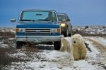 Photo: Churchill Polar Bear Hudson Bay Manitoba