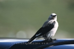 A little grey Clark's Nutcracker taking a short rest in Alberta in Canada.