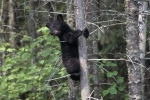 Climbing a tree is a place where a baby Black Bear can remain safe while its mother in searching for food in the wilderness of Ontario, Canada.