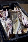 A bin full of cod fish caught by the local fishermen sits on the dock in the harbour of Trout River in Newfoundland Labrador in Canada.