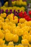Photo: Colorful Tulips Street Gardens Niagara On The Lake Ontario