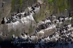 Hundreds of Common Murres breed on the tiered rock ledges near Bird Rock at the Cape St Mary's Ecological Reserve in the Avalon Peninsula in Newfoundland Labrador, Canada.