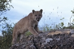 Photo: Cougar Alert Vancouver Island
