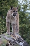 This young cougar in British Columbia, Canada scopes out his territory from atop a large rock.