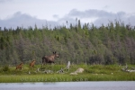 Photo: Cow Moose