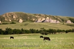 The rolling hills in the Big Muddy Badlands in Southern Saskatchewan, Canada are blanketed with green farmland where cows are led for grazing.