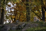 Photo: Coyote Surrounded By Autumn Colored Trees Parc Omega
