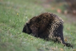 A curious porcupine or two can be found moseying around the green hillsides in Kejimkujik National Park in Nova Scotia, Canada.