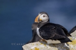 A cute close up picture taken of an Atlantic Puffin as it rests on the sharp rocks on Bird Island in Newfoundland Labrador in Canada.