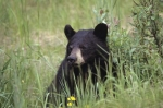 Photo: Cute Baby Black Bear picture