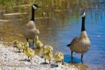 Along the swampy shores of Lake Erie in Point Pelee National Park in Leamington, Ontario, a cute family of Canada Geese take a walk.