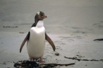 A cute Yellow Eyed Penguin waddles up the beach after a long day in the ocean near Dunedin in New Zealand.