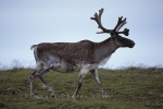 Photo: Denali National Park Male Caribou Animal