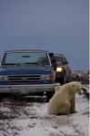Photo: Polar Bear Detour Churchill Manitoba