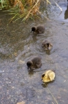 Photo: Ducklings