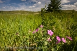 Photo: Elkwater Lake Pink Wildflowers Alberta Canada