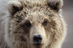 Photo: Face Shot Grizzly Bear