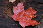 Photo: Fall Leaf Algonquin Provincial Park