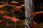 Photo: Fall Tree Leaves Algonquin Provincial Park