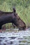 Photo: Feeding Moose Algonquin Provincial Park Ontario