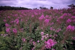 Photo: Fireweed Field Newfoundland