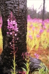 Pink fireweed, the colourful flowers are blooming after a forest fire in the Yukon, willow herb, Epilobium angustifolium.
