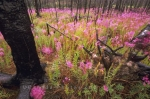 Fireweed is scattered throughout the landscape of the Yukon Territories after a forest fire raged through this area.