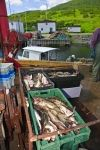Photo: Fresh Cod Fish Newfoundland