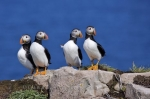 Photo: Funny Atlantic Puffins Picture
