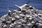 Photo: Gannets Newfoundland