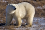 Photo: Global Warming Polar Bears Churchill Manitoba