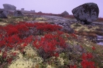 The lighthouse route near Peggys Cove in Nova Scotia, Canada is beautiful in autumn with bright red wildflowers and granite rocks covering the landscape.
