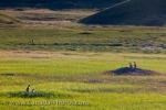 Photo: Grasslands National Park Black Tailed Prairie Dogs Picture