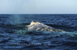 A Gray Whale surfaces in the warm waters around Baja, California in the United States of America.