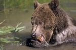 Photo: Grizzly Bear Swim Alaska