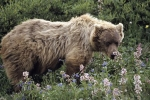 Photo: Grizzly Denali National Park