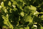 Coriander is a herb which is grown in the Garden of Innovations at the Montreal Botanical Garden in Montreal, Quebec in Canada.