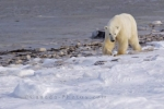 As winter slowly moves into Churchill, Manitoba, the coastline of the Hudson Bay begins to take on its icy appearance. Once this coastline is frozen enough, the Polar Bear will stop foraging along the shore and head out onto the water for a Ringed Seal.