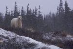 The snow brings on the arrival of winter in Churchill, Manitoba where a Polar Bear stands atop a ridge near the shores of the Hudson Bay.