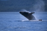 The massive body of a humpback whale breaks through the water with force as it performs a breach off Vancouver Island.
