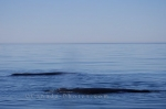 Photo: Humpback Whale Family Bay Of Fundy Whale Watching Tour